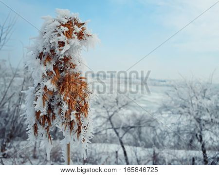 Hoar frosted dry reed grass in a country garden over the white winter background.