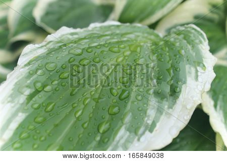 raindrop laden green and white hosta plant leaf