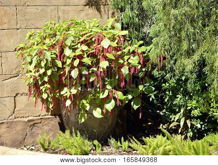 Red-hot cat's tail Latin name Acalypha hispida