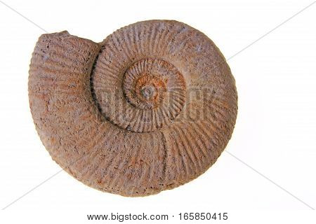 Ammonite Perisphinctes White Jura gamma Location: Swabian Alb Baden-Wurttemberg Germany Age: about 155 million years
