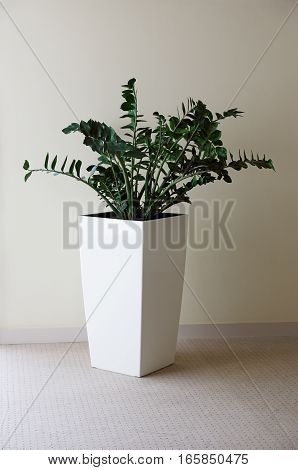 indoor plant Zamioculcas in a big pot