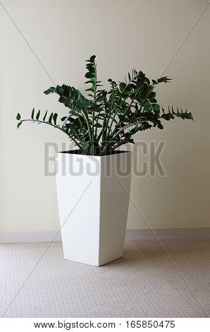 indoor plant Zamioculcas in a big pot