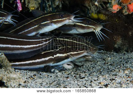 Group of striped eel catfish gathered under the coral, Puerto Galera, Philippines