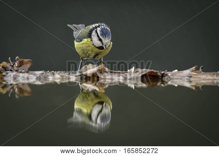 Taken in the rain, this very wet blue tit (Cyanistes caeruleus) looking at its reflection in the water.