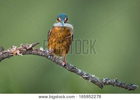Kingfisher perched on a branch with a fish in its beak staring forward at the camera