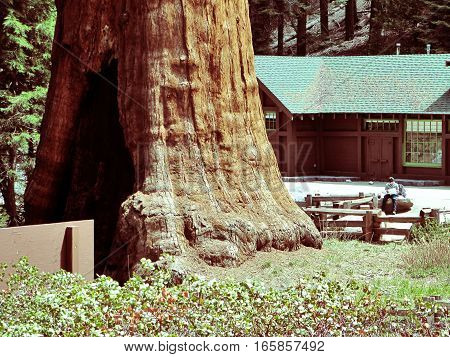 The huge Sequoia trees compared with a house (man is not recognizable)