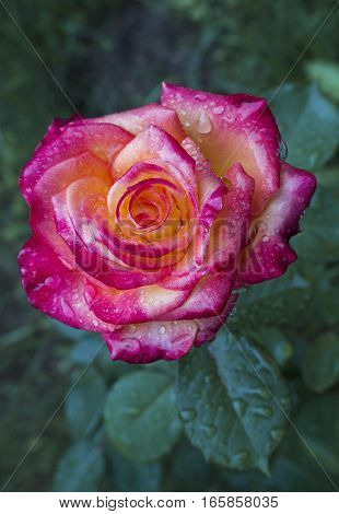 Climber bicolor rose Antik floral rustic background