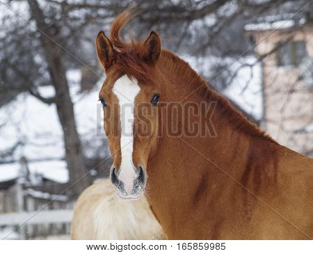 chestnut horse with a white blaze on his head walking in the paddock on the snow near the white fence