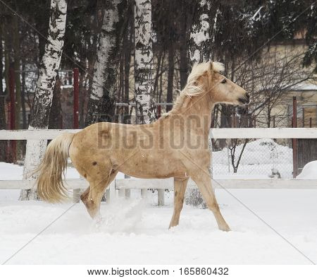white horse with light mane and tail walks in the paddock on the snow near the white fence