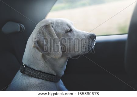 white labrador retriever puppy dog driving in a car and looking out of window