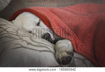 Tired cute young puppy - labrador retriever dog - is sleeping under a towel