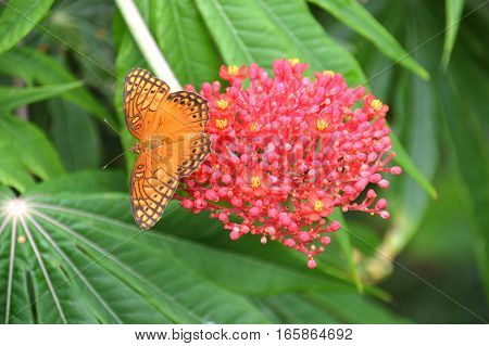Photo of an orange and black butterfly (possibly a Mexican Silverspot) sitting on a pink flower with yellow polen buds