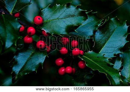 beautiful red berries on a holly bush