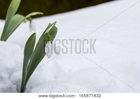 Snowdrop flowers blooming on white snow slope
