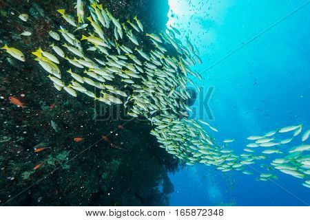 School of Blue banded snapper in Maldives.