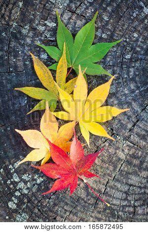 Beautiful colour of Maple leaves in autumn season