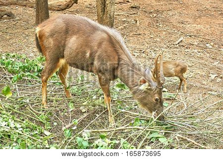 Male Barking deer or muntjac is eating leaves on tree branch.