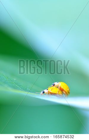 Mating of yellow ladybugs on the on leaves.