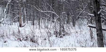 white winter landscape forest panorama north scene
