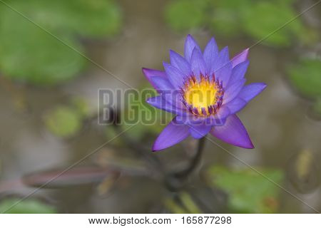 Purple lotus flower with yellow pollen sits in a pond hovering above lily pads. Bali, Indonesia. - Water feature.