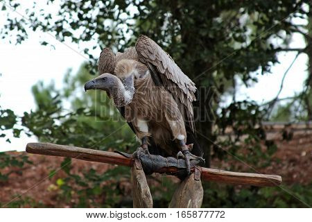 Gray Vulture Poised on Wooden Perch with Trees in Background
