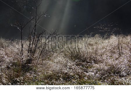 A shaft of sun streams through the trees to shine on a dew covered wild rose bush in a field. The melting frost sparkles on the grass and bushes Aylard Farm East Sooke Park Vancouver Island.