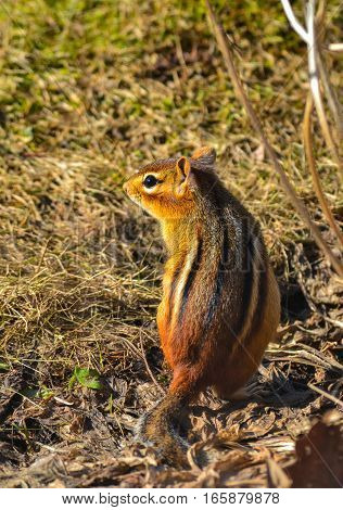 A large red chipmunk posing in wood shavings outdoors with the sun hitting his face