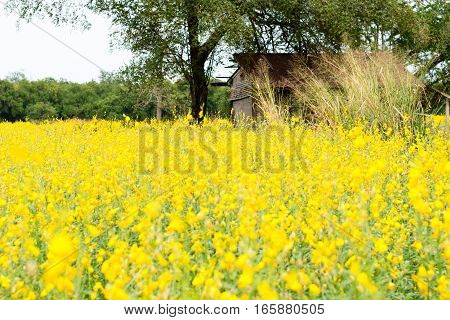 Rapeseed Field, Blooming Canola Flowers Close Up. Rape On The Field In Summer. Bright Yellow Oil. Fl