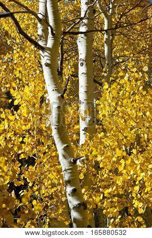 White trunks of Aspen trees backed by golden leaves.