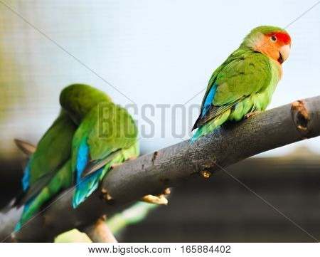 funny lovebirds parrots on the branch at the zoo
