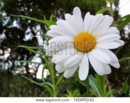 up close shot of bright white daisy in the grass. Macro view of wild flower with yellow center.
