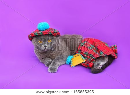 Gray Scottish fold cat Scottish costume for men, red plaid fabric, tartan, beret with POM-POM skirt with a small purse on her belt, lay on a purple background