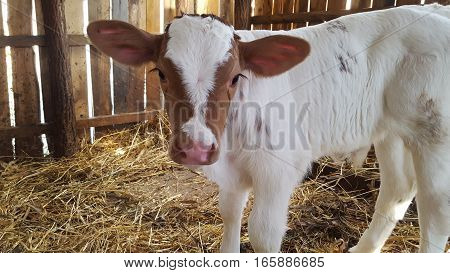 Red and white calf child cow in stable