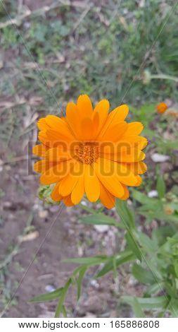 Calendula flower medicinal plant in the garden