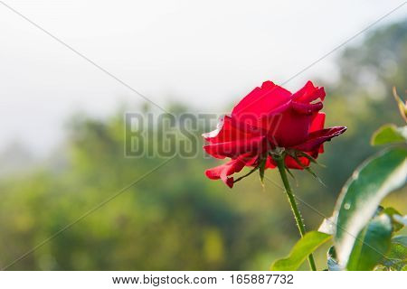 Red Rose With Buds And Green Bush Background