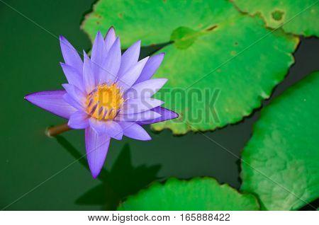 Closeup blooming purple lotus in the pond