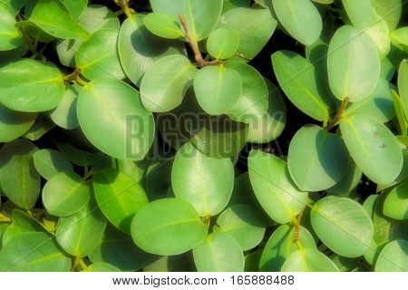green leaf background or green Leaves texture