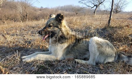 Young dog sitting with tongue out and looking far