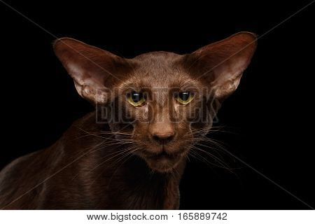 Close-up Portrait of Brown Oriental Cat with big ears, sad looking his green eyes, isolated black background, front view