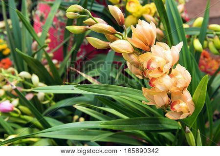 Beautiful Color Of Cymbidium Orchids Close Up