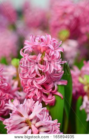 Closeup pink hyacinthus blooming in the garden