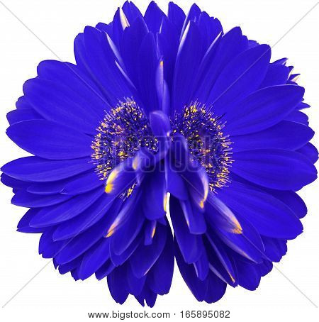 gerbera flowers blue. Closeup. beautiful two flower. black background. Nature.