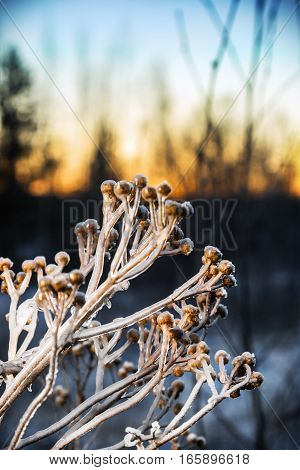 frozen sagebrush bushes in the winter forest at sunset