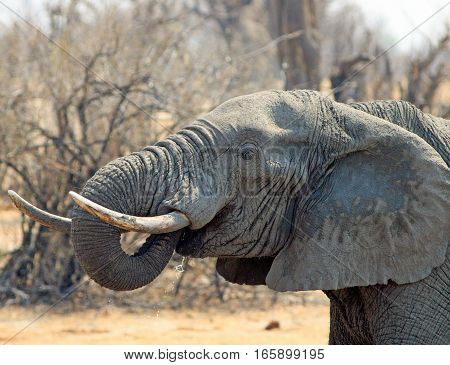 Close up of an elephant drinking with trunk curled into mouth and large ivory tusks in Hwange National Park, Zimbabwe, Southern Africa