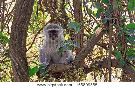 Landscape of a vervet monkey sitting on a dry bush with the thunderous victoria falls in the background, Zimbabwe, Southern Africa