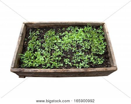 Wood box with wet young plants in black ground isolated on white