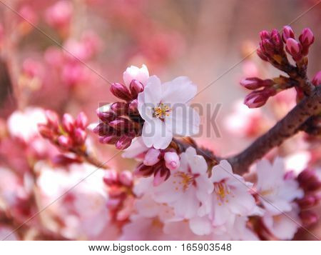 In this photo flowers pink yelow spring