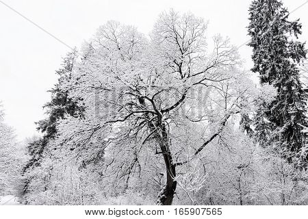 Hoar frost on trees in winter, frozen forest and white snow at mountains