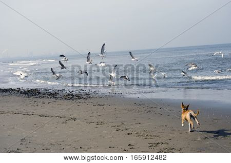 Dog running and chasing seagulls on te coastline