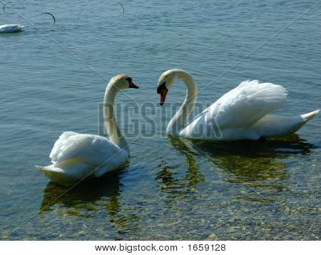 Swans at grafham water an anglian